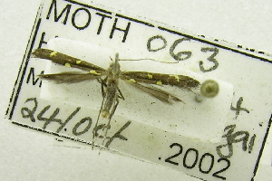 (Caloptilia octopunctata - USNM ENT 00731214)  @13 [ ] Unspecified (default): All Rights Reserved  Unspecified Unspecified