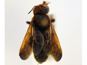 (Megachile felix - NHMUK 010819687)  @11 [ ] copyright © (2018) Andrew Polaszek Natural History Museum, London