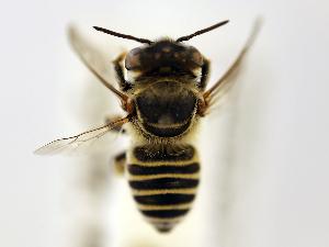 (Megachile flavilabris - NHMUK 010819732)  @13 [ ] copyright © (2018) Andrew Polaszek Natural History Museum, London