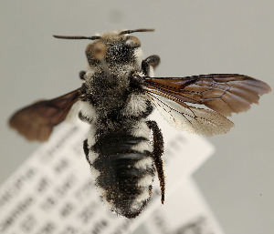 (Megachile albifrons - NHMUK010838877)  @11 [ ] copyright © (2018) Andrew Polaszek Natural History Museum, London