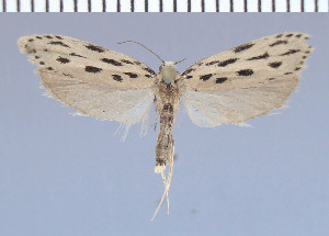 (Ethmia albifrontella - green-28)  @11 [ ] Unspecified (default): All Rights Reserved  Unspecified Unspecified