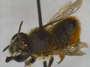 (Megachile ZAF04 - BNRGr1Hym10)  @13 [ ] Unspecified (default): All Rights Reserved  Unspecified Unspecified
