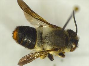 (Megachile KENLP11 - GibaFo1Hym1001)  @13 [ ] Unspecified (default): All Rights Reserved  Unspecified Unspecified