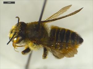 (Megachile semierma - Giba Gr2Hym0801)  @13 [ ] Unspecified (default): All Rights Reserved  Unspecified Unspecified