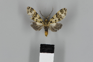 (Heliura thysbodes - DR14_0406)  @11 [ ] CreativeCommons - Attribution Non-Commercial Share-Alike (2018) Martina Wieser Dept of Botany and Biodiversity Research