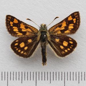 (Carterocephalus palaemon - RVcoll.14-N777)  @15 [ ] Copyright (2015) Martin Gascoigne-Pees Unspecified