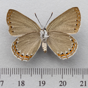 (Laeosopis - RVcoll.14-U862)  @14 [ ] Copyright (2015) Martin Gascoigne-Pees Unspecified