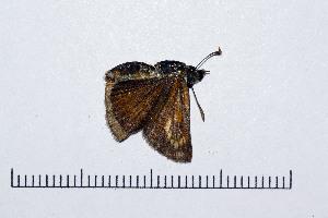 ( - RVcoll16J230)  @11 [ ] copyright (2016) Roger Vila Institut de Biologia Evolutiva (CSIC-UPF), Butterfly Diversity and Evolution Lab
