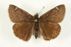 (Erynnis persius - EZ1081CNC)  @13 [ ] Unspecified (default): All Rights Reserved  Unspecified Unspecified