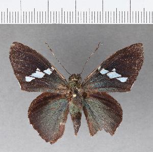 (Hesperiidae_gen sp. CF106 - CFC11612)  @11 [ ] copyright (2018) Christer Fahraeus Fahraeus Institute