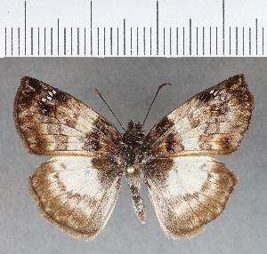 (Hesperiidae_gen sp. CF641 - CFC01180)  @11 [ ] copyright (2018) Christer Fahraeus Fahraeus Institute