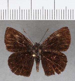 (Hesperiidae_gen sp. CF717 - CFC01186)  @11 [ ] copyright (2019) Christer Fahraeus Fahraeus Institute