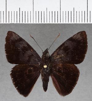 (Hesperiidae_gen sp. CF767 - CFC01192)  @11 [ ] copyright (2019) Christer Fahraeus Fahraeus Institute
