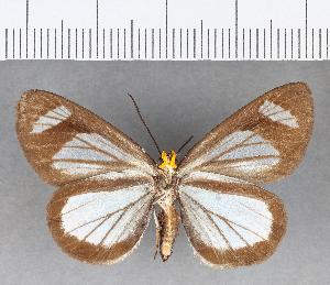 (Hesperiidae_gen sp. CF61 - CFC12136)  @11 [ ] copyright (2018) Christer Fahraeus Fahraeus Institute