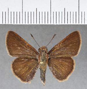 (Hesperiidae_gen sp. CF419 - CFC01262)  @11 [ ] copyright (2018) Christer Fahraeus Fahraeus Institute