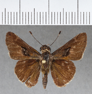 (Hesperiidae_gen sp. CF413 - CFC01264)  @11 [ ] copyright (2018) Christer Fahraeus Fahraeus Institute