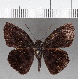 (Hesperiidae_gen sp. CF761 - CFC01266)  @11 [ ] copyright (2019) Christer Fahraeus Fahraeus Institute