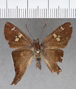 (Hesperiidae_gen sp. CF590 - CFC01269)  @11 [ ] copyright (2018) Christer Fahraeus Fahraeus Institute