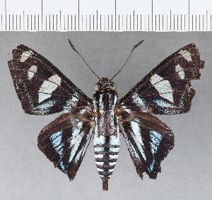 (Hesperiidae_gen sp. CF697 - CFC01276)  @11 [ ] copyright (2019) Christer Fahraeus Fahraeus Institute