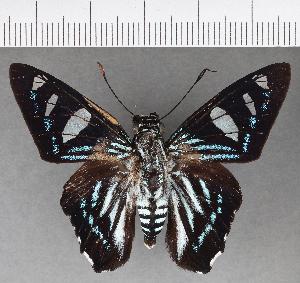 (Hesperiidae_gen sp. CF536 - CFC01278)  @11 [ ] copyright (2018) Christer Fahraeus Fahraeus Institute