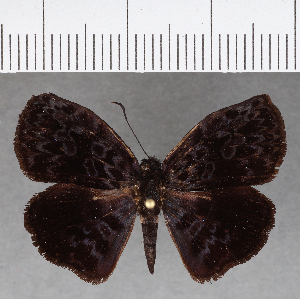 (Hesperiidae_gen sp. CF762 - CFC13056)  @11 [ ] copyright (2019) Christer Fahraeus Fahraeus Institute