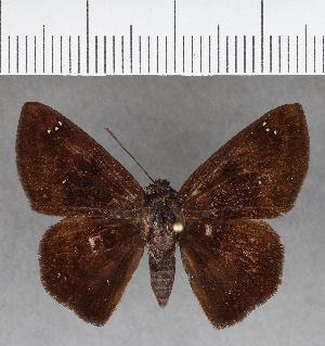 (Hesperiidae_gen sp. CF663 - CFC13064)  @11 [ ] copyright (2018) Christer Fahraeus Fahraeus Institute