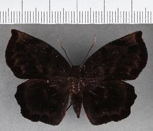 (Hesperiidae_gen sp. CF747 - CFC13095)  @11 [ ] copyright (2019) Christer Fahraeus Fahraeus Institute
