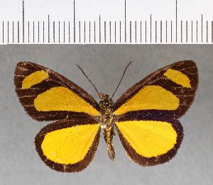 (Hesperiidae_gen sp. CF49 - CFC13121)  @11 [ ] copyright (2018) Christer Fahraeus Fahraeus Institute