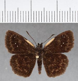 (Hesperiidae_gen sp. CF690 - CFC13413)  @11 [ ] copyright (2018) Christer Fahraeus Fahraeus Institute