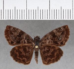 (Hesperiidae_gen sp. CF687 - CFC13416)  @11 [ ] copyright (2018) Christer Fahraeus Fahraeus Institute