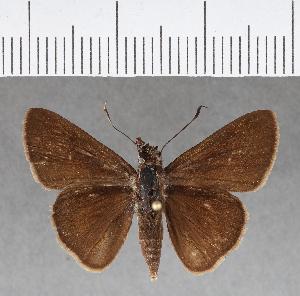 (Hesperiidae_gen sp. CF71 - CFC13418)  @11 [ ] copyright (2018) Christer Fahraeus Fahraeus Institute