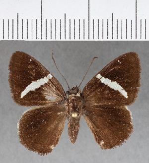 (Hesperiidae_gen sp. CF392 - CFC13420)  @11 [ ] copyright (2018) Christer Fahraeus Fahraeus Institute