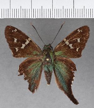 (Hesperiidae_gen sp. CF616 - CFC13426)  @11 [ ] copyright (2018) Christer Fahraeus Fahraeus Institute