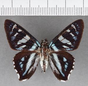 (Hesperiidae_gen sp. CF517 - CFC13455)  @11 [ ] copyright (2018) Christer Fahraeus Fahraeus Institute
