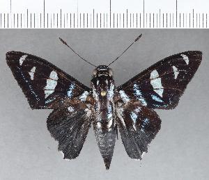 (Hesperiidae_gen sp. CF704 - CFC13456)  @11 [ ] copyright (2019) Christer Fahraeus Fahraeus Institute