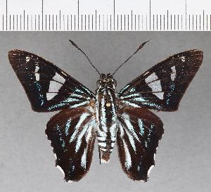 (Hesperiidae_gen sp. CF538 - CFC13457)  @11 [ ] copyright (2018) Christer Fahraeus Fahraeus Institute