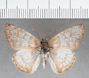 (Hesperiidae_gen sp. CF681 - CFC13663)  @11 [ ] copyright (2018) Christer Fahraeus Fahraeus Institute