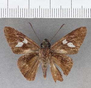(Hesperiidae_gen sp. CF451 - CFC13895)  @11 [ ] copyright (2018) Christer Fahraeus Fahraeus Institute