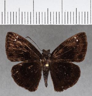 (Hesperiidae_gen sp. CF646 - CFC15549)  @11 [ ] copyright (2018) Christer Fahraeus Fahraeus Institute