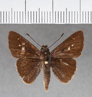 (Hesperiidae_gen sp. CF130 - CFC15550)  @11 [ ] copyright (2018) Christer Fahraeus Fahraeus Institute
