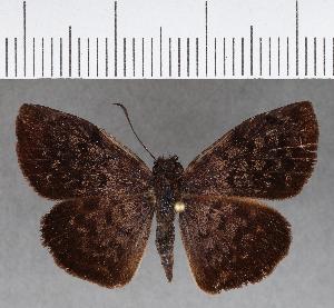 (Hesperiidae_gen sp. CF642 - CFC15729)  @11 [ ] copyright (2018) Christer Fahraeus Fahraeus Institute