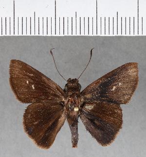 (Hesperiidae_gen sp. CF165 - CFC15730)  @11 [ ] copyright (2018) Christer Fahraeus Fahraeus Institute
