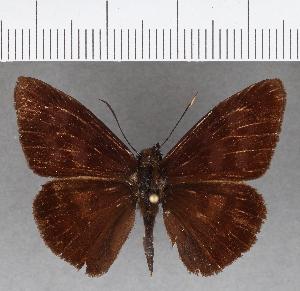(Hesperiidae_gen sp. CF769 - CFC15753)  @11 [ ] copyright (2019) Christer Fahraeus Fahraeus Institute