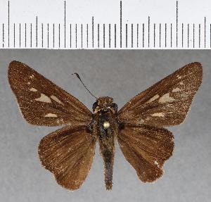 (Hesperiidae_gen sp. CF424 - CFC15761)  @11 [ ] copyright (2018) Christer Fahraeus Fahraeus Institute