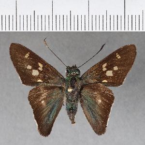 (Hesperiidae_gen sp. CF272 - CFC15763)  @11 [ ] copyright (2018) Christer Fahraeus Fahraeus Institute