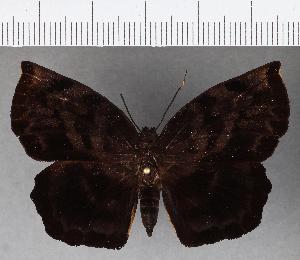 (Hesperiidae_gen sp. CF765 - CFC15791)  @11 [ ] copyright (2019) Christer Fahraeus Fahraeus Institute