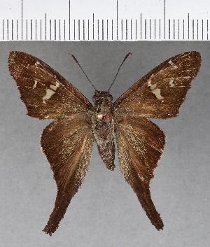 (Hesperiidae_gen sp. CF600 - CFC15795)  @11 [ ] copyright (2018) Christer Fahraeus Fahraeus Institute