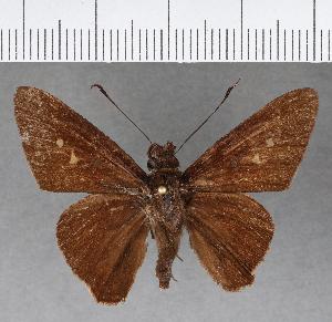 (Hesperiidae_gen sp. CF426 - CFC15797)  @11 [ ] copyright (2018) Christer Fahraeus Fahraeus Institute