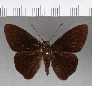 (Hesperiidae_gen sp. CF231 - CFC15799)  @11 [ ] copyright (2018) Christer Fahraeus Fahraeus Institute