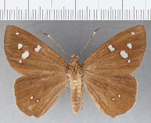 (Hesperiidae_gen sp. CF778 - CFC15888)  @11 [ ] copyright (2019) Christer Fahraeus Fahraeus Institute